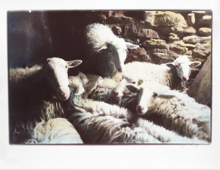 Ancora-Pecore