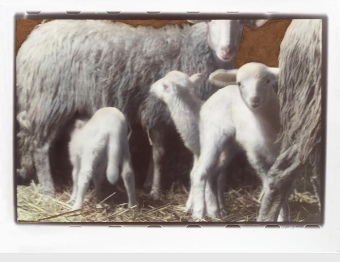 Famiglia-di-Pecore