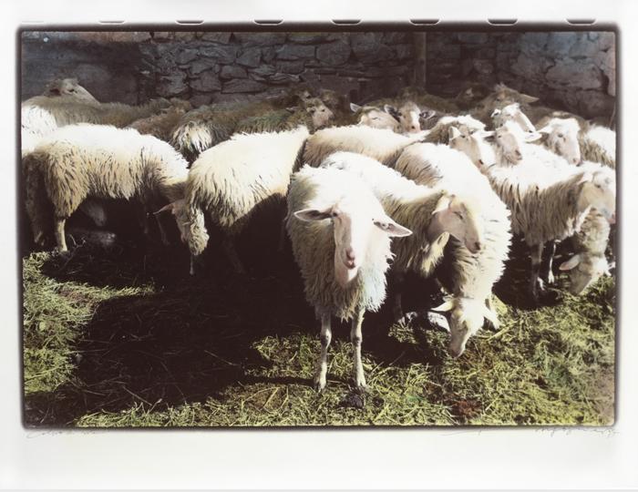 Gruppo-di-Pecore