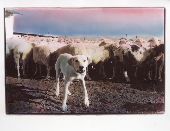 Il-capo-delle-pecore